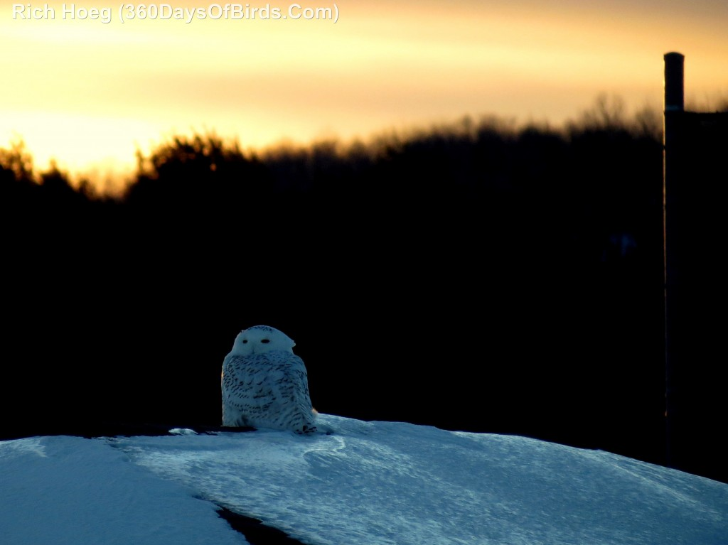 003D-Birds-365-Sunset-Owl