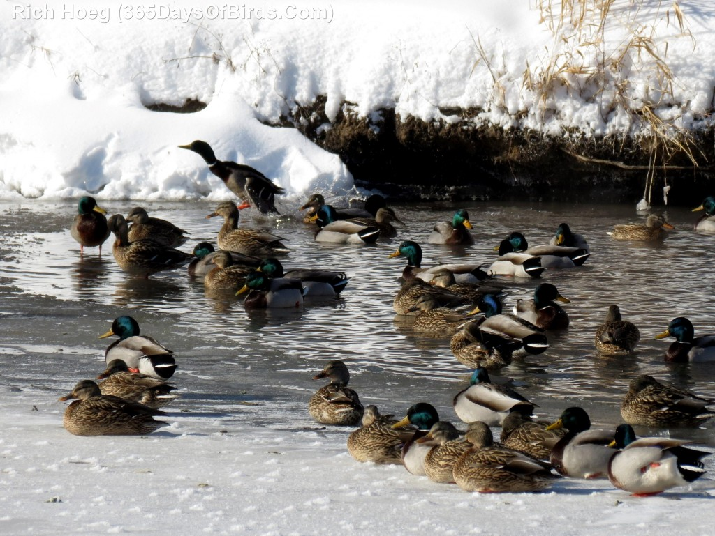 009-Birds-365-Winter-Mallards