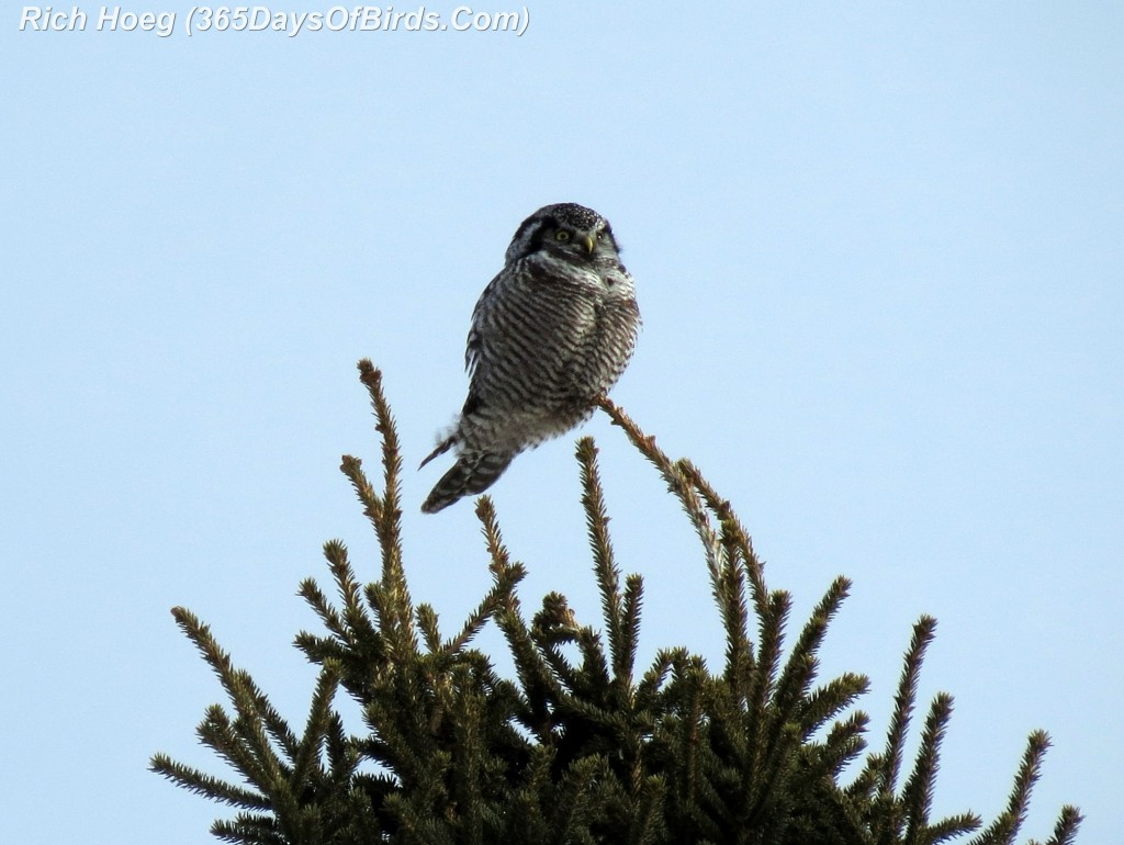 011-Birds-365-Hawk-Owl