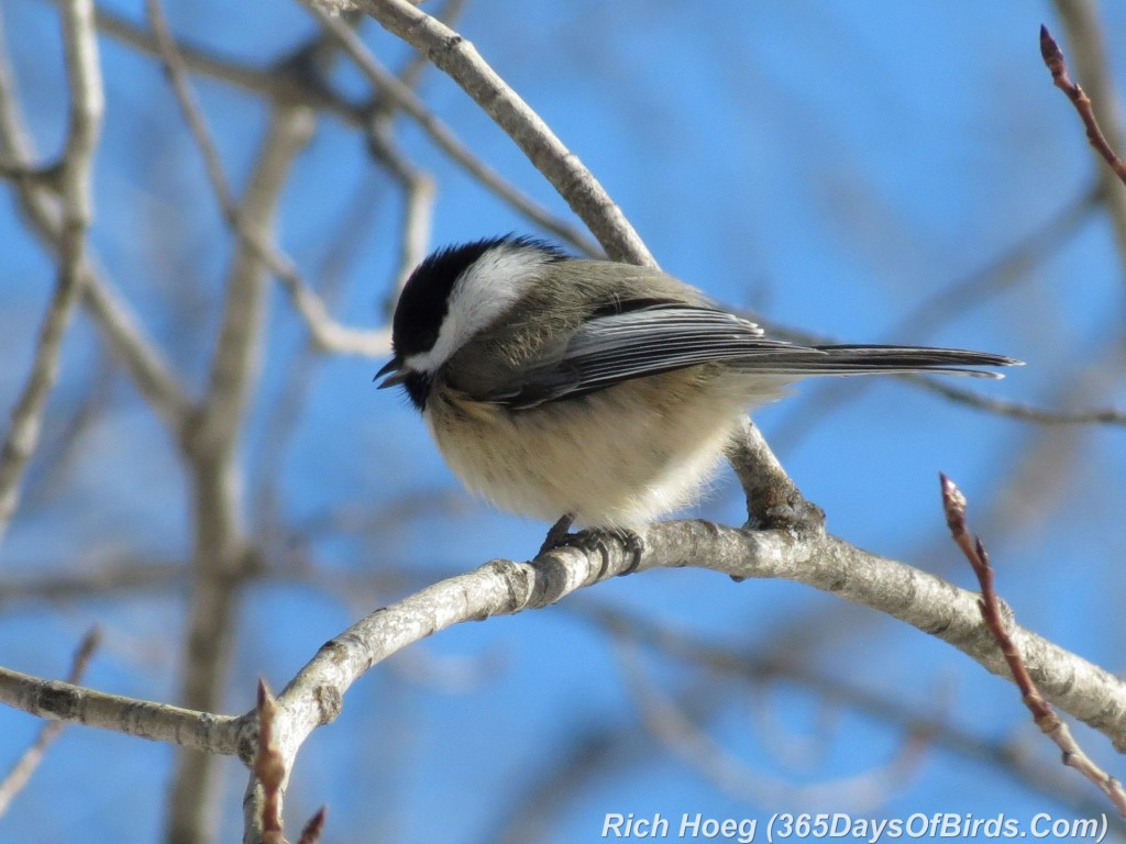 013-Birds-365-Back-Capped-Chickadee