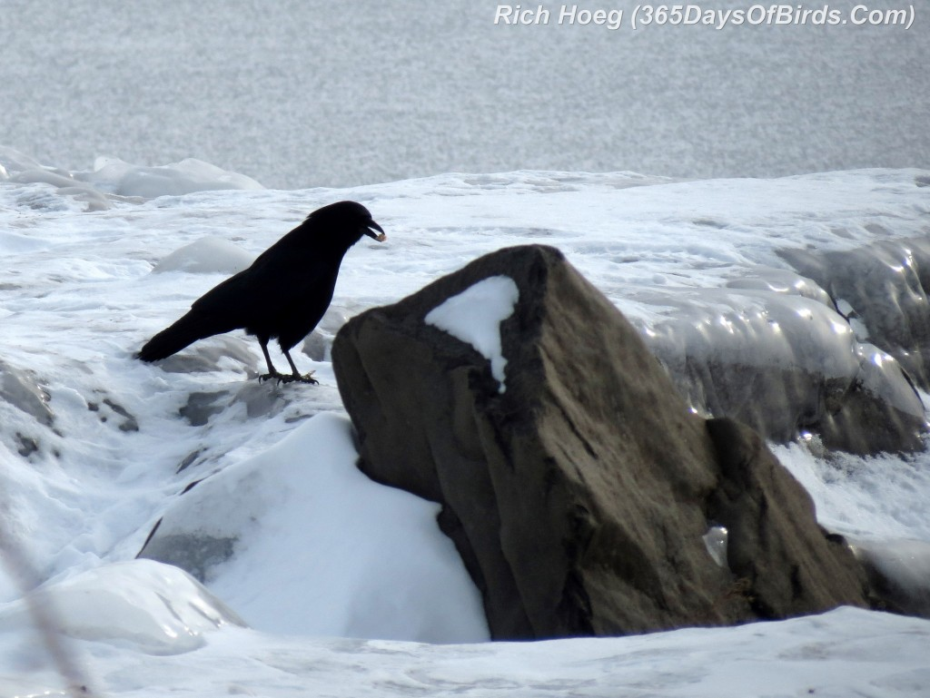014-Birds-365-Crow-On-Ice
