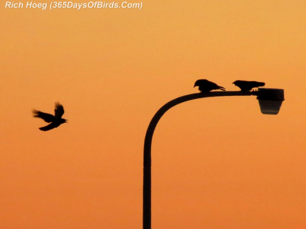 015-Birds-365-Black-On-Orange-Crows