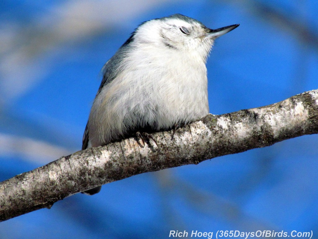 020B-Birds-365-White-Breasted-Nuthatch-Eyelid-Cover