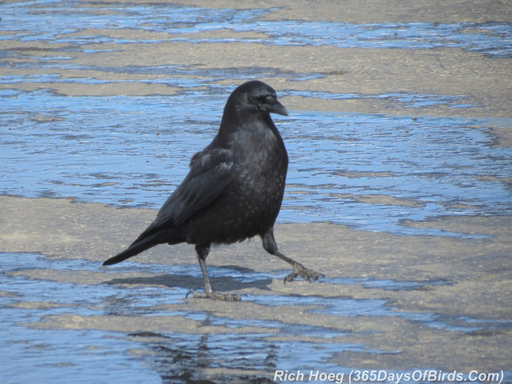 028-Birds-365-Crow-Puddles