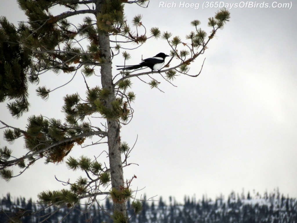 031-Birds-365-Magpie-Pine-Mountain