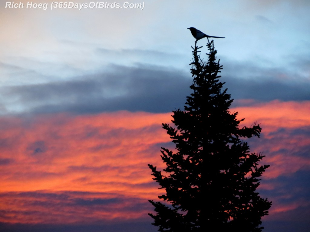 033-Birds-365-Magpie-Morning-Pine