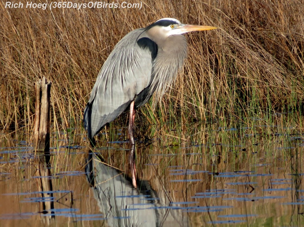 037b-Birds-365-Great-Blue-Heron