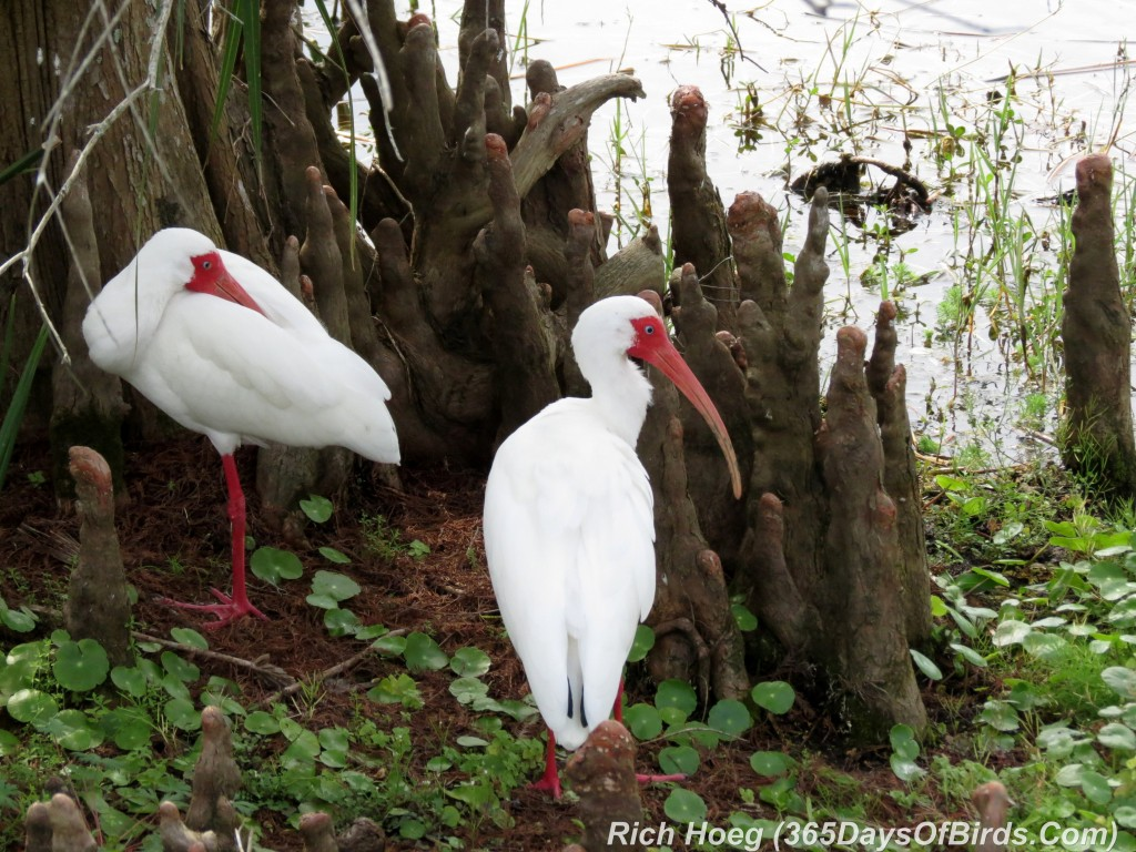 042a-Birds-365-White-Ibis-Three