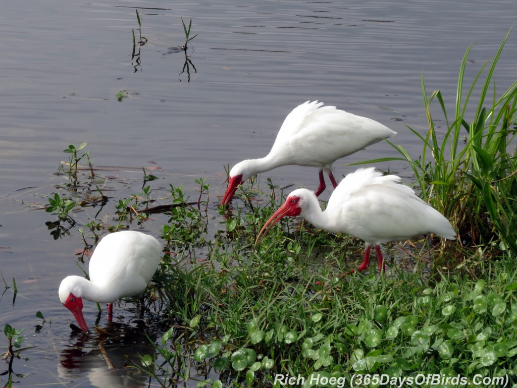 042b-Birds-365-White-Ibis-Three