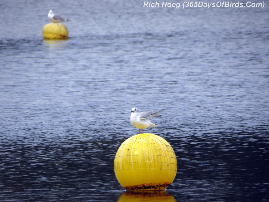 043-Birds-365-Gulls-Buoys