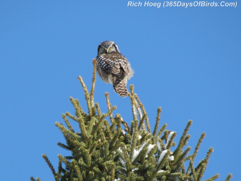 049-Birds-365-Northern-Hawk-Owl