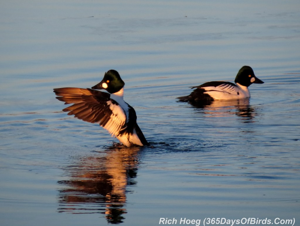 052a-Birds-365-Goldeneyes-Duo-Flapping