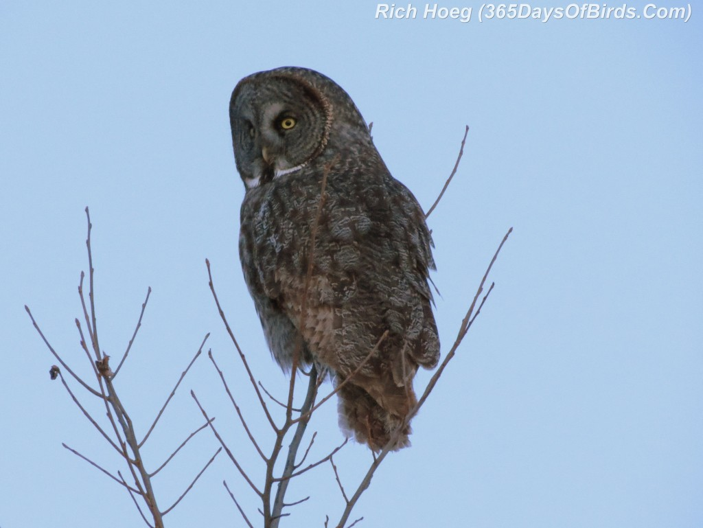 052c-Great-Grey-Owl-Dusk