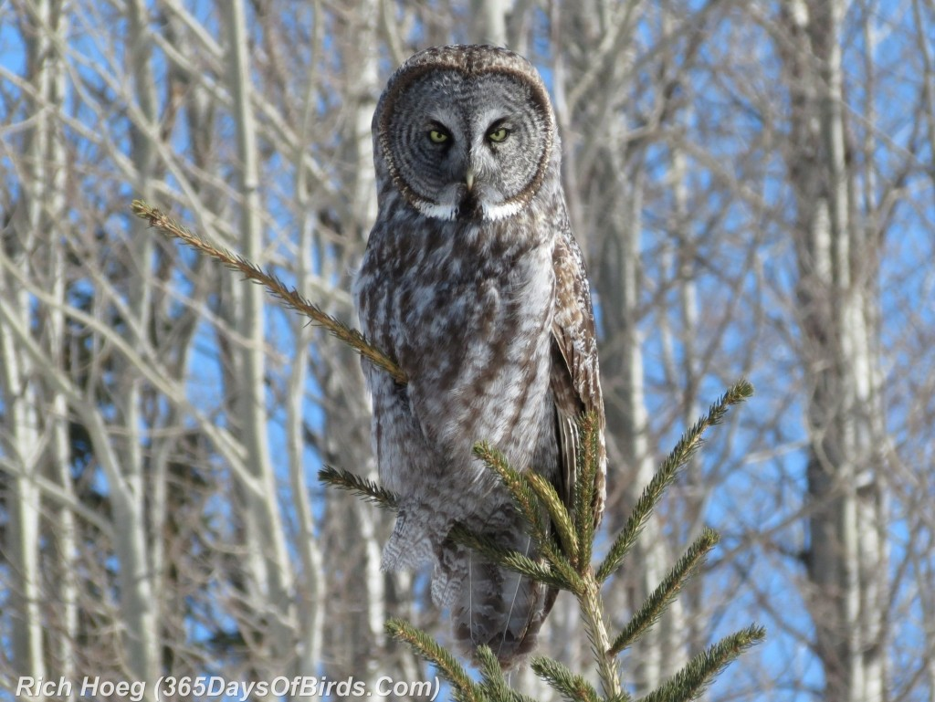 053-Birds-365-Great-Grey-Owl-Sun-Pine