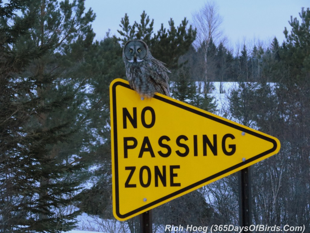 053b-Birds-365-No-Passing-Zone-Great-Grey-Owl