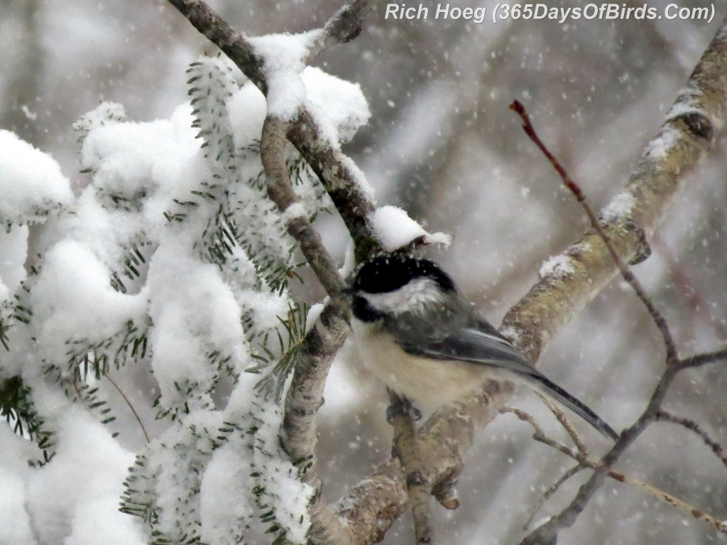 058-Birds-365-Snow-Chickadee