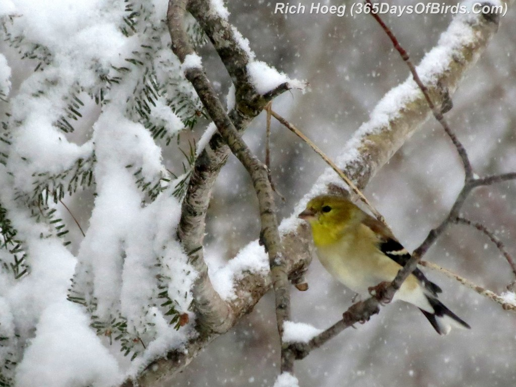 058-Birds-365-Snow-Goldfinch