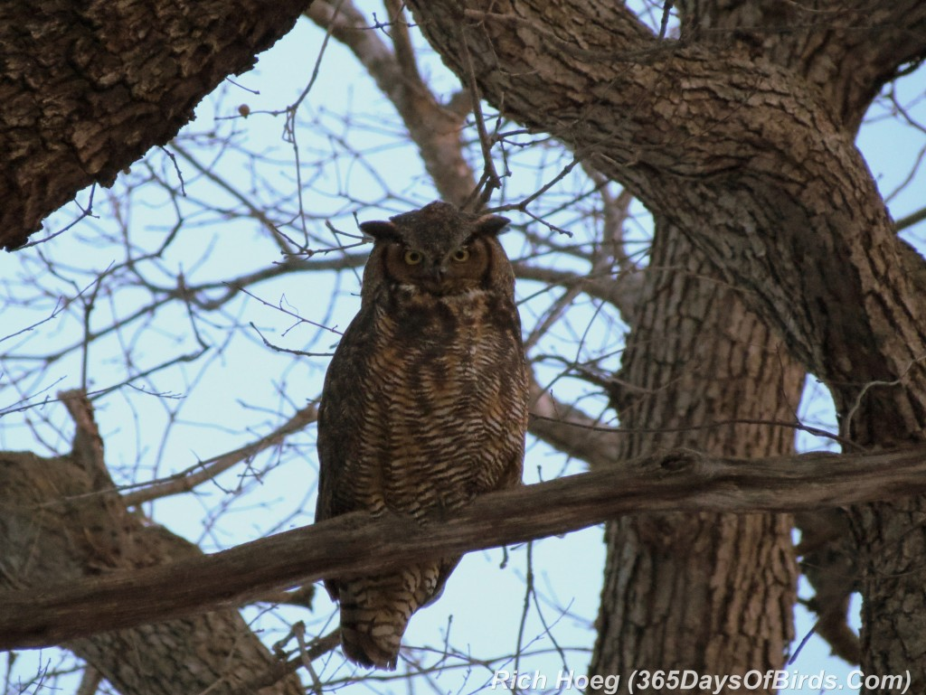 060-Birds-365-Great-Horned-Owl