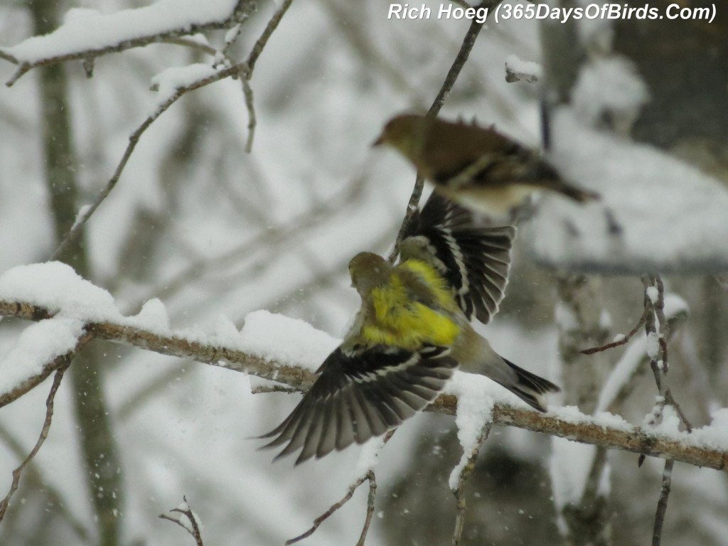 064-Birds-365-Mya-1b-Goldfinch-1