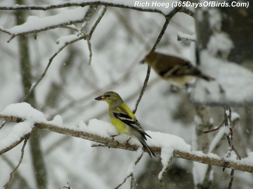 064-Birds-365-Mya-1c-Goldfinch-2