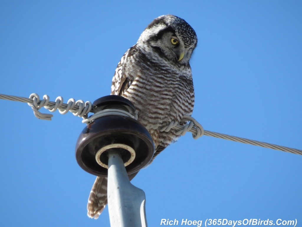 066-Birds-365-Northern-Hawk-Owl-1