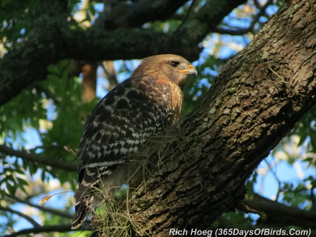 069-Birds-365-Red-Tailed-Hawk-2