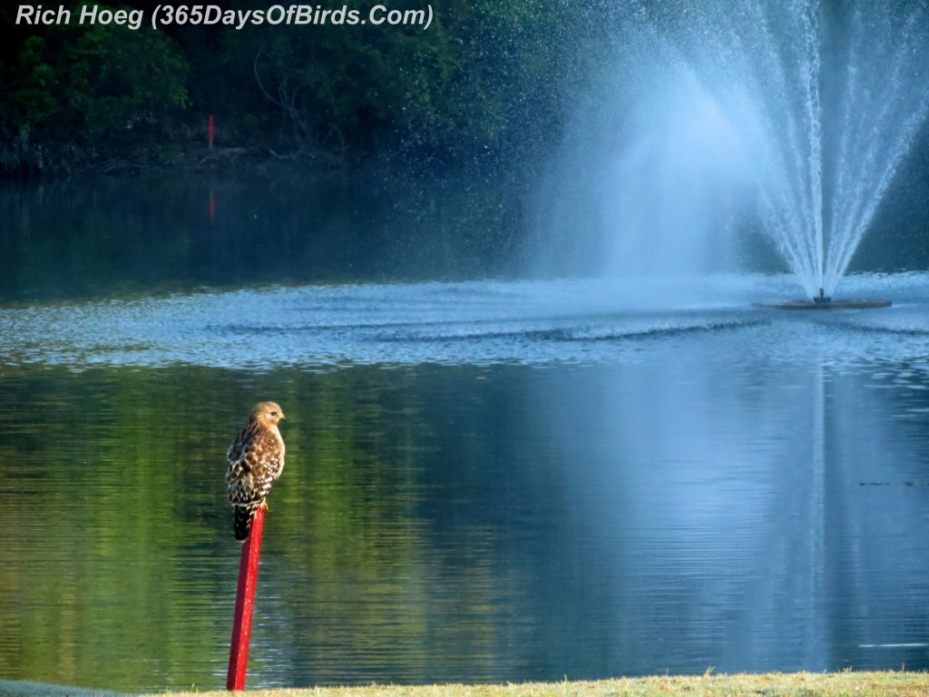 070-Birds-365-Red-Tailed-Hawk-Fountain