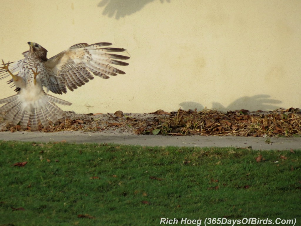 074-Birds-365-Red-Shouldered-Hawk-Fight-2a