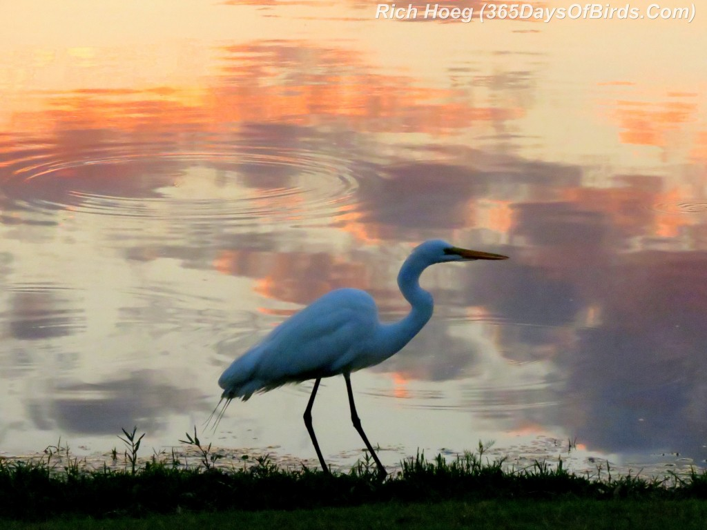 077-Birds-365-Sunset-Great-Egret