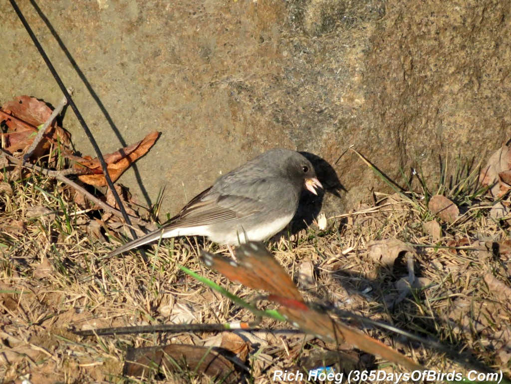 083-Birds-365-Shades-Of-Gray-Slate-Colored-Junco-2
