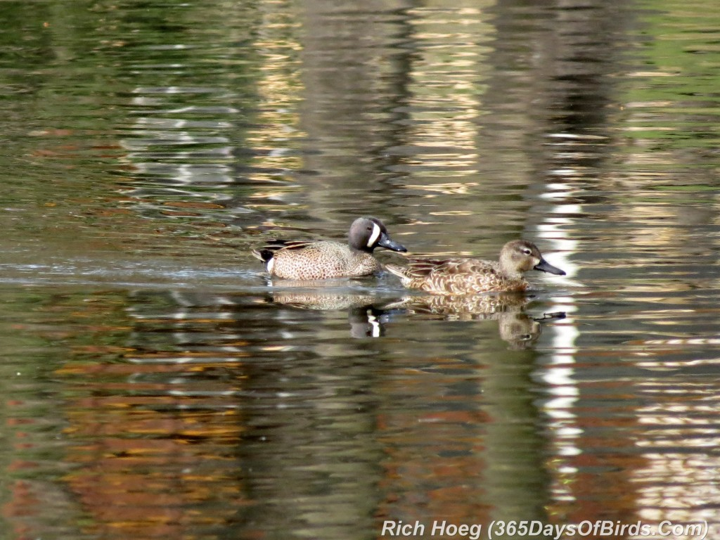 087-Birds-365-Blue-Winged-Teal