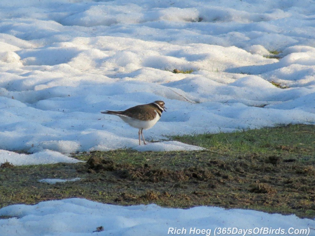 090-Birds-365-Killdeer