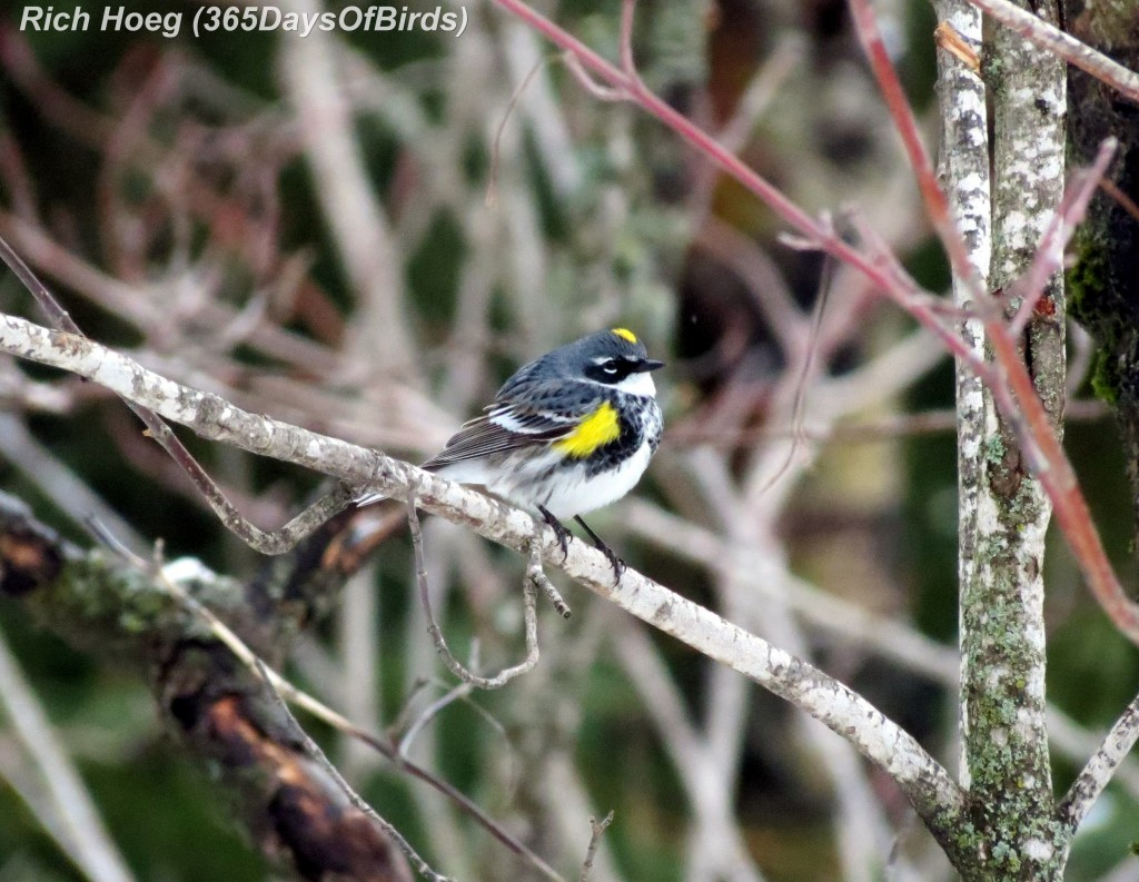 093-Birds-365-Yellow-Rumped-Warbler-1