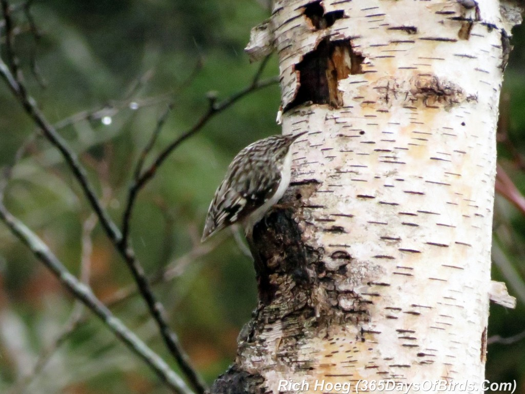 098a-Birds-365-Brown-Creeper-1