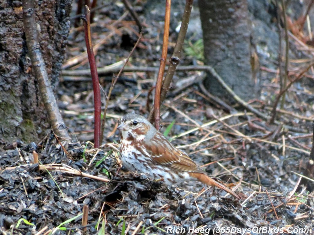 098a-Birds-365-Song-Sparrow