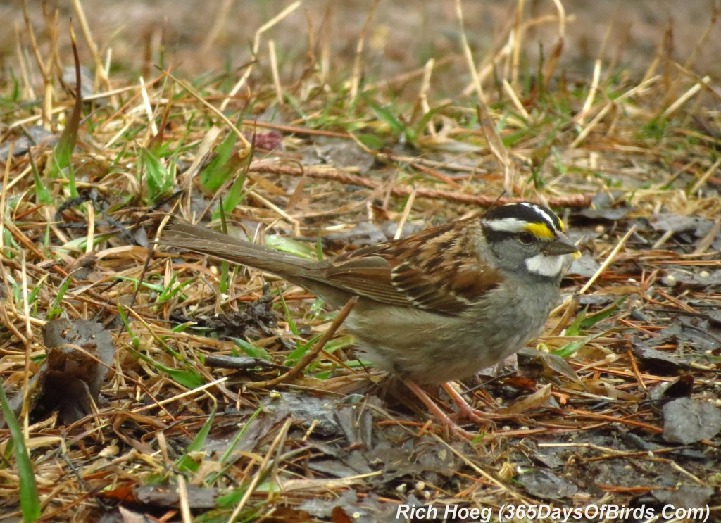 098a-Birds-365-White-Throated-Sparrow