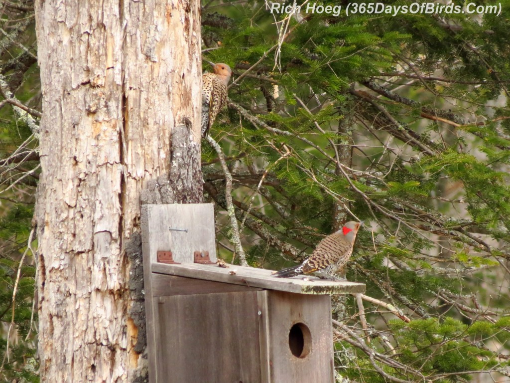 100-Birds-365-Red-Shafted-Flickers-2