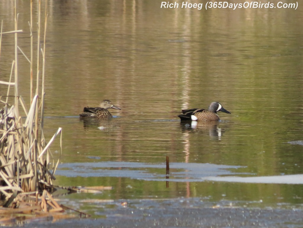 101-Birds-365-Blue-Winged-Teal-Couple