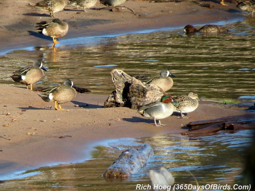 103-Birds-365-Green-Winged-Teals-Resting-1