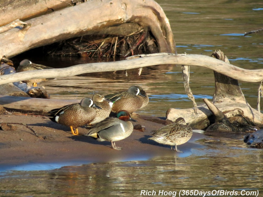 103-Birds-365-Green-Winged-Teals-Resting-2