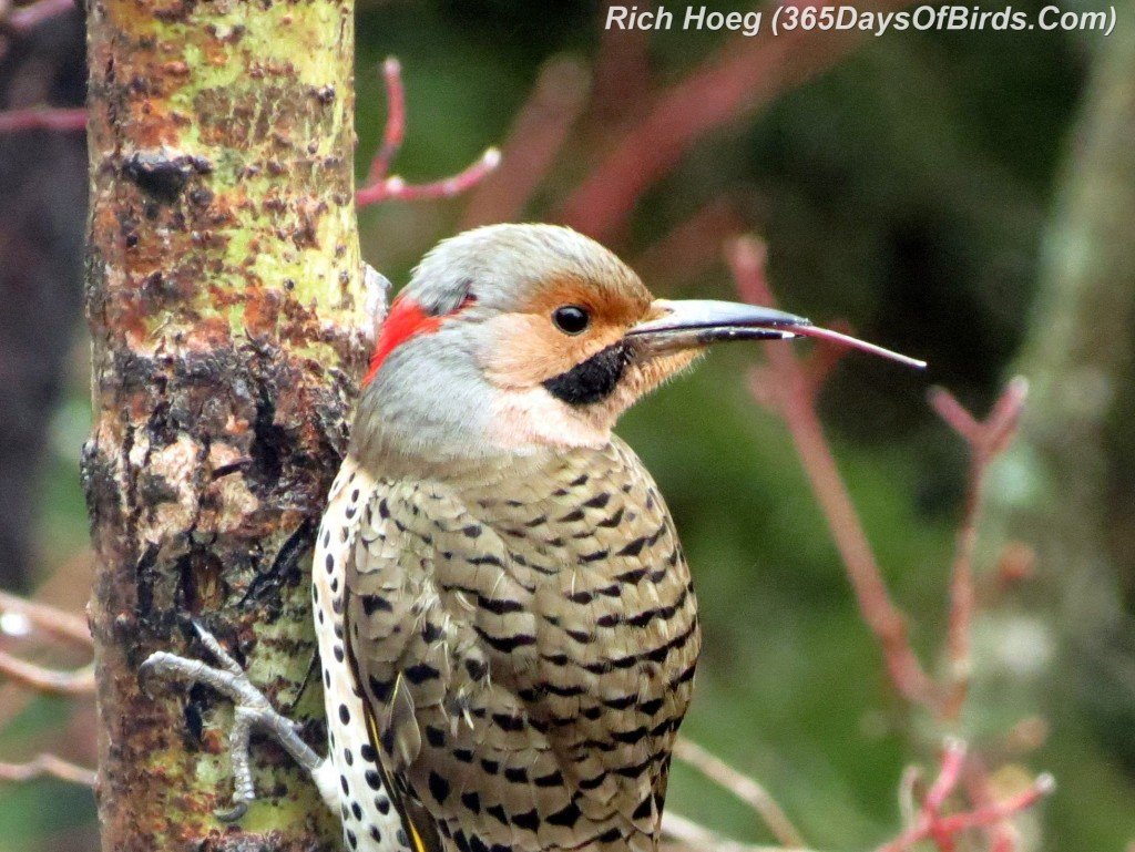 107-Birds-365-Woodpecker-Red-Shafted-Flicker-CloseUp
