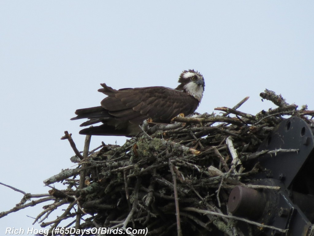 111-Birds-365-Bad-Hair-Day-Osprey