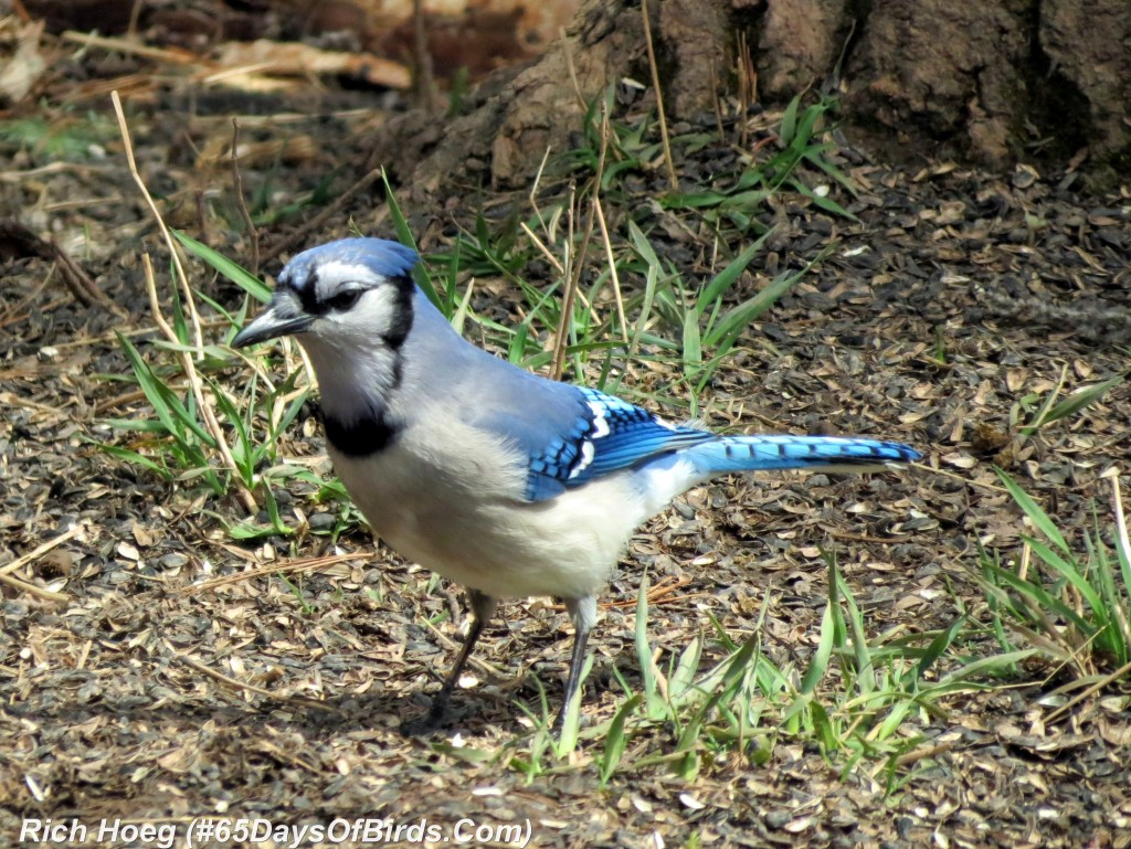 111-Birds-365-Blue-Jay-Day-1