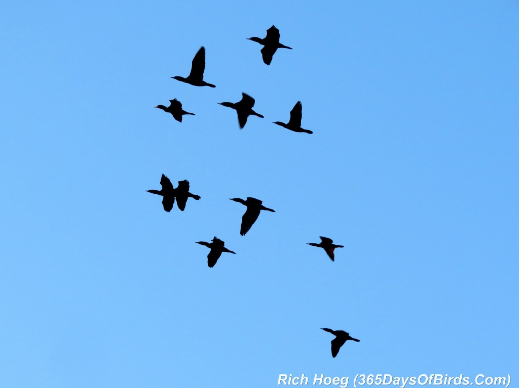 112-Birds-365-Cormorant-Flock