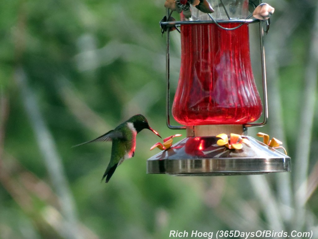 112-Birds-365-Ruby-Throated-Hummingbird