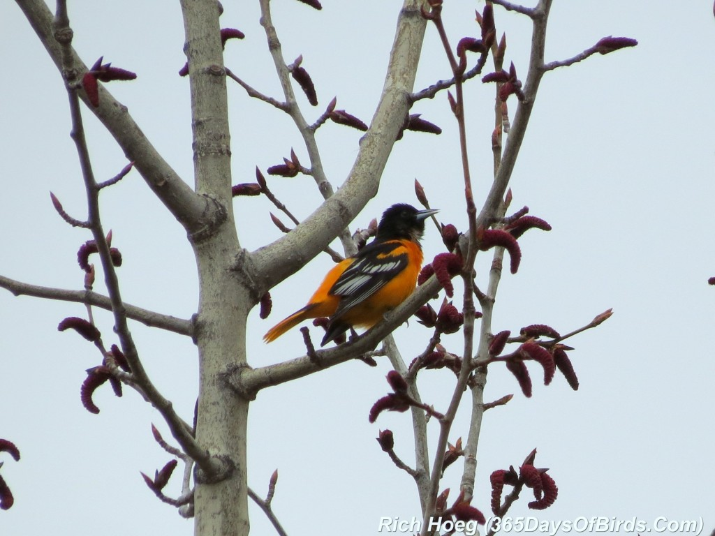 113-Birds-365-Baltimore-Oriole