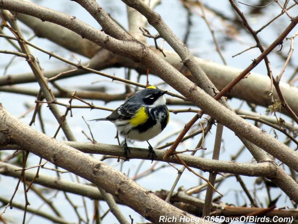 114-Birds-365-Luce-Line-Yellow-Rumped-Warbler