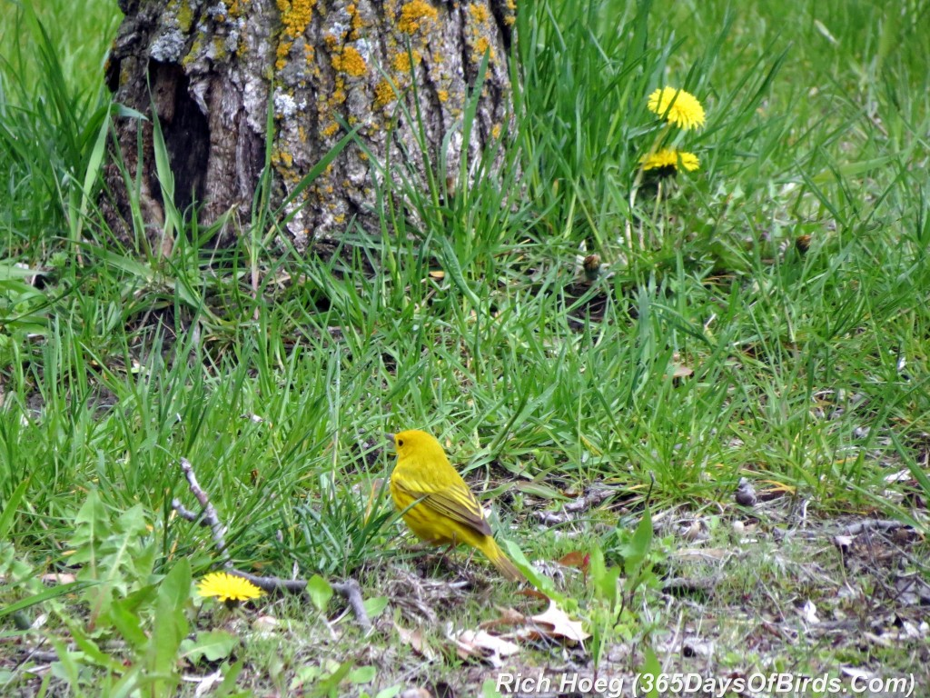 114-Birds-365-Luce-Line-Yellow-Warbler