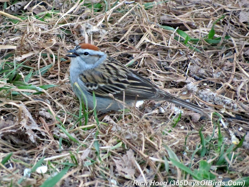 115-Birds-365-Chipping-Sparrow