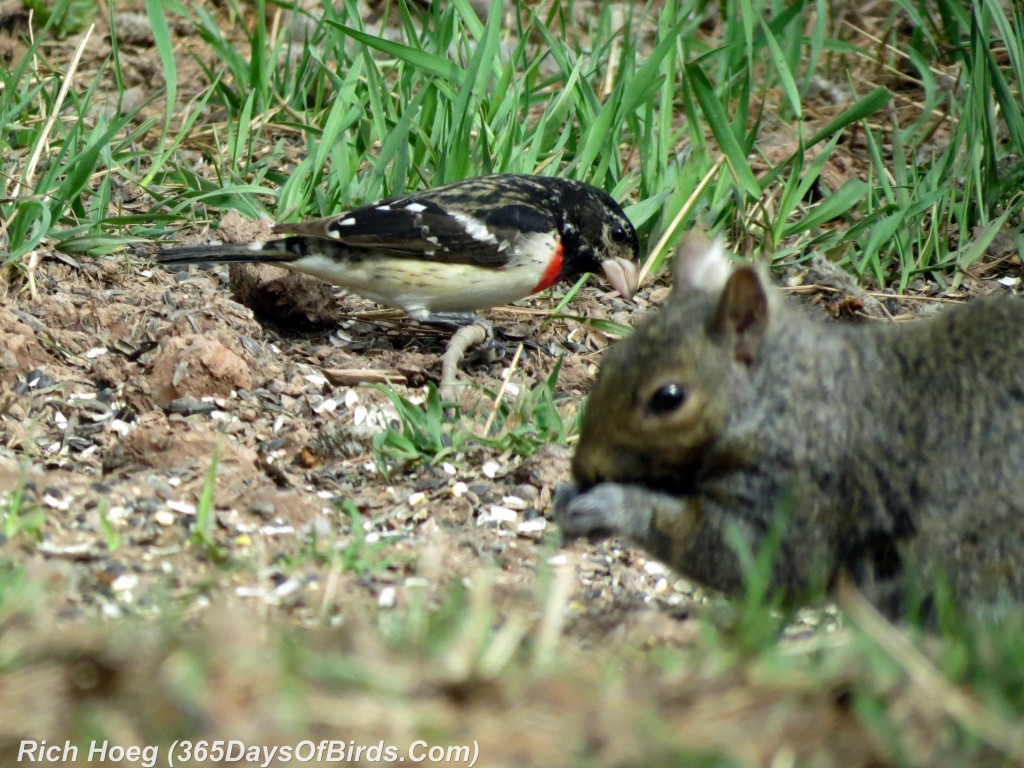 116pm-Birds-365-Rose-Breasted-Grosbeak-and-Squirrel-2